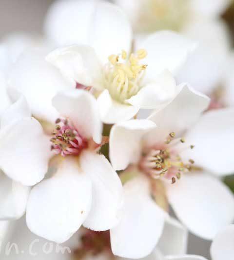 シャリンバイ(車輪梅)の花の写真・花言葉