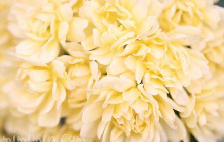 木香薔薇(黄色)の花の写真と花言葉の画像