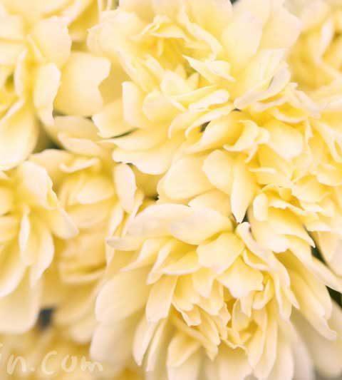 モッコウバラ(木香薔薇)の花の写真&花言葉