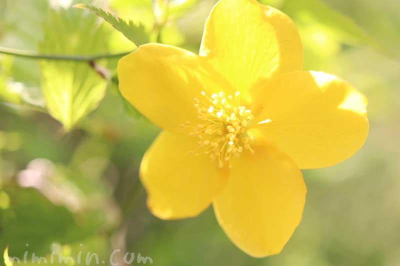 山吹の花の写真と花言葉の画像