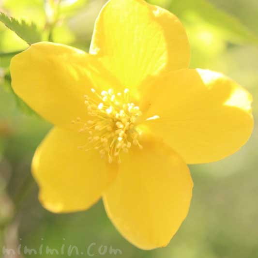 ヤマブキの花の写真 花言葉の画像