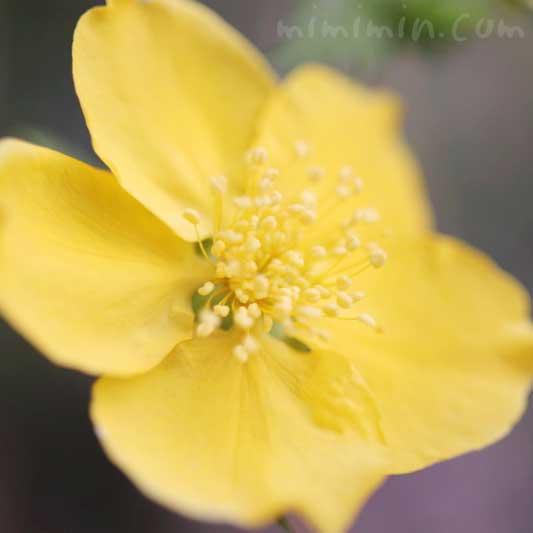 山吹の花の写真 花言葉