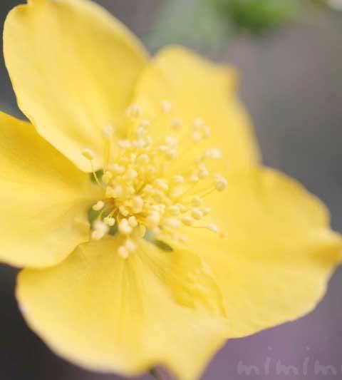 ヤマブキの花の写真・花言葉・名前の由来