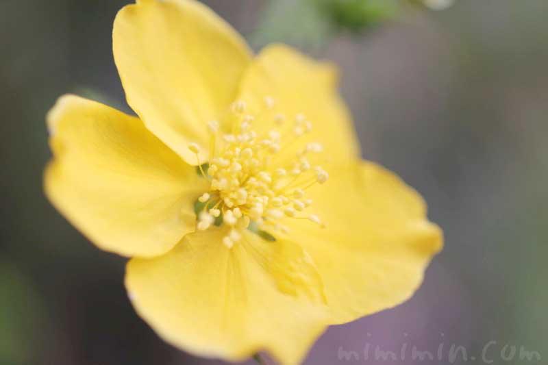 ヤマブキの花の写真と花言葉