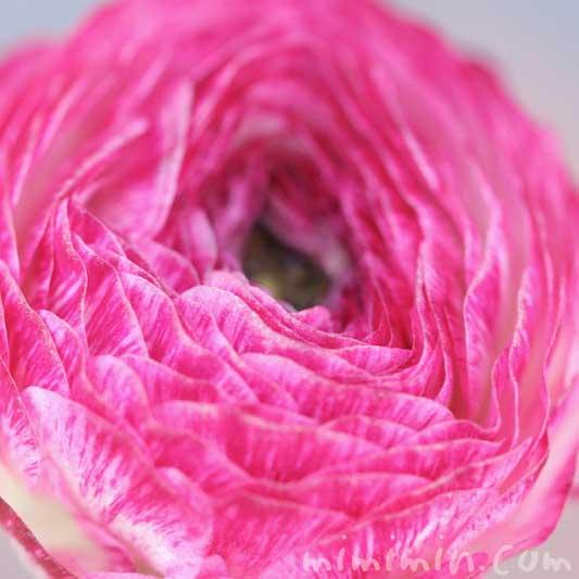 ラナンキュラスの写真と花言葉と毒性