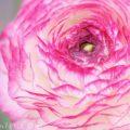 ラナンキュラスの花の写真・花言葉・毒性の画像