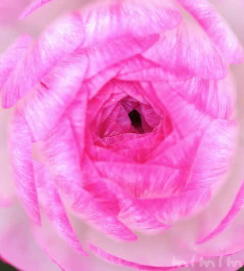 ラナンキュラス|花の写真・花言葉