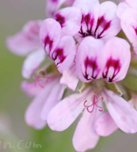 センテッドゼラニウム(ローズゼラニウム)の花の写真・花言葉