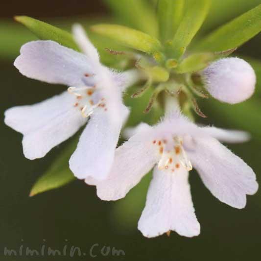 オーストラリアン・ローズマリーの花の画像