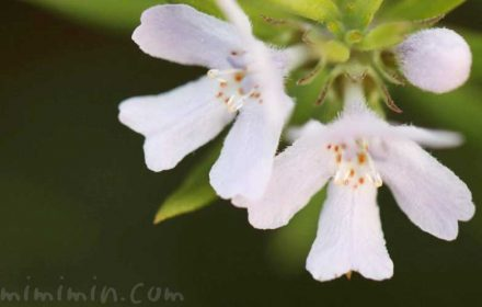 ウエストリンギアの花の写真