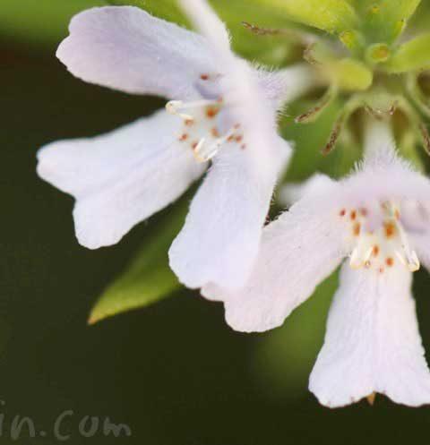 ウエストリンギア(オーストラリアン・ローズマリー)の花の写真・花言葉