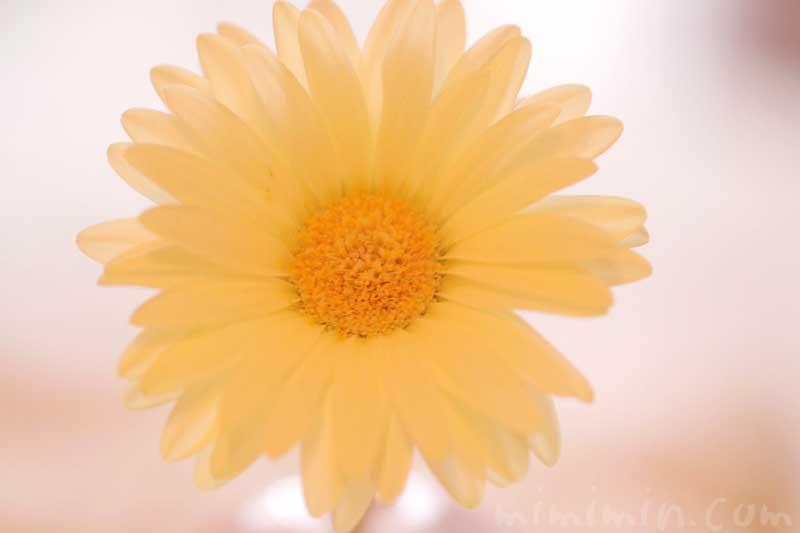黄色のガーベラの写真 名前の由来 誕生花の画像