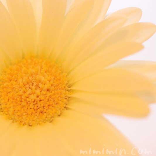 黄色のガーベラの写真と名前の由来