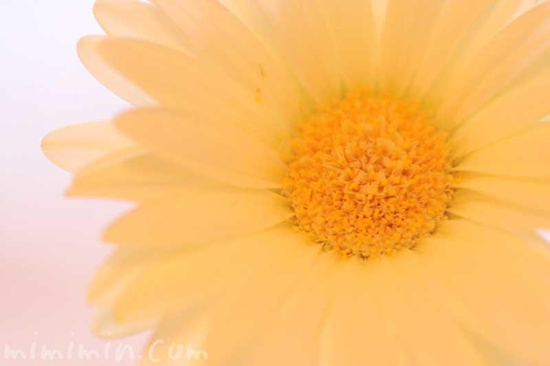 黄色のガーベラの花の写真・花言葉・名前の由来の画像