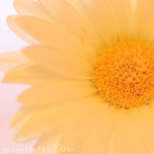 黄色のガーベラの写真 花言葉 名前の由来