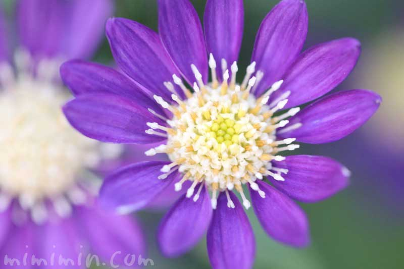 ミヤコワスレの花の画像