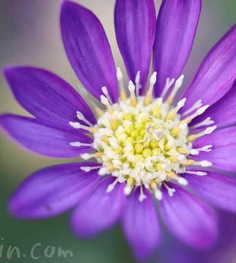 ミヤコワスレ(都忘れ)の花の写真・花言葉