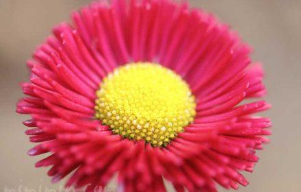 赤いデージー|花の写真・花言葉