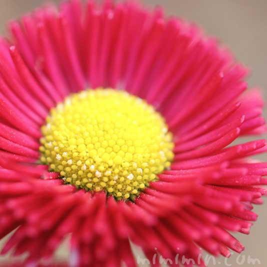 赤いデージーの写真・花言葉の画像