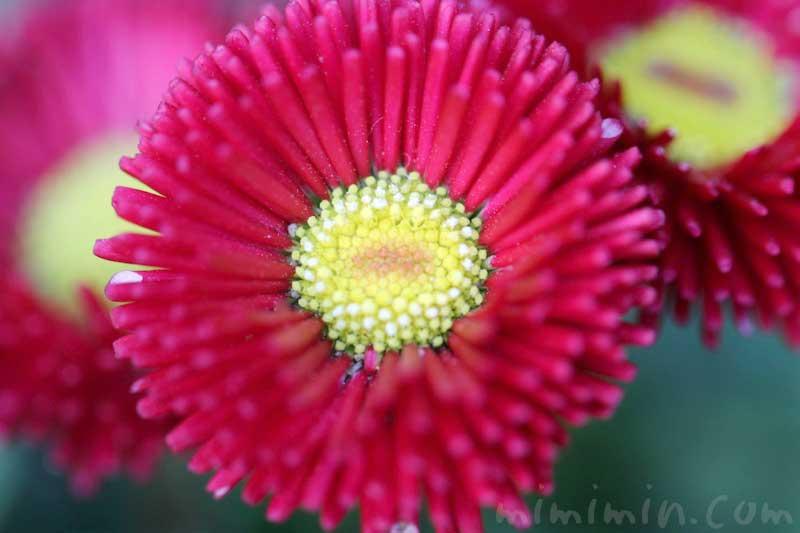 デージー(赤)の花の写真と花言葉