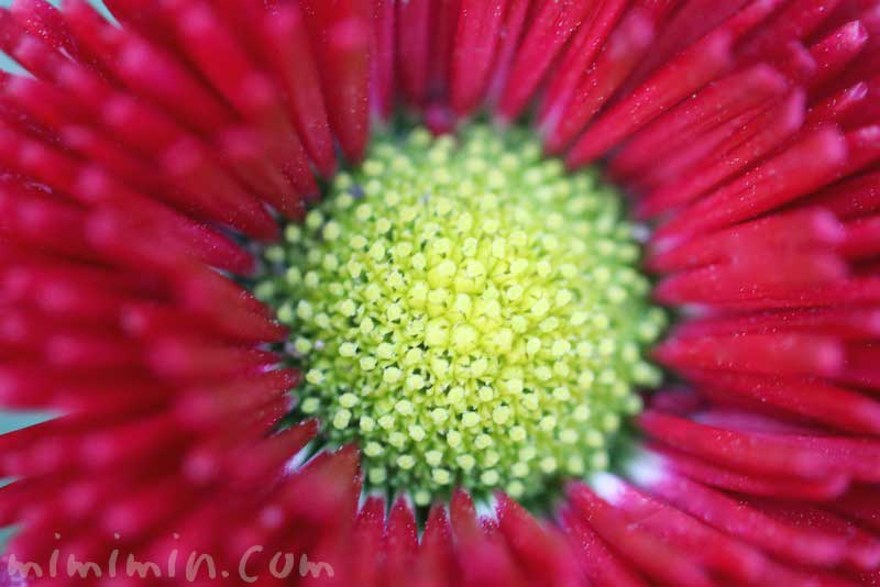 赤いひなぎく|花の写真・花言葉の画像