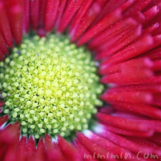赤い雛菊の写真・花言葉の画像