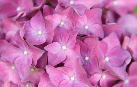 ピンク色のあじさいの写真と花言葉
