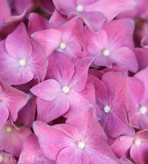 ピンクのあじさいの花の写真・花言葉