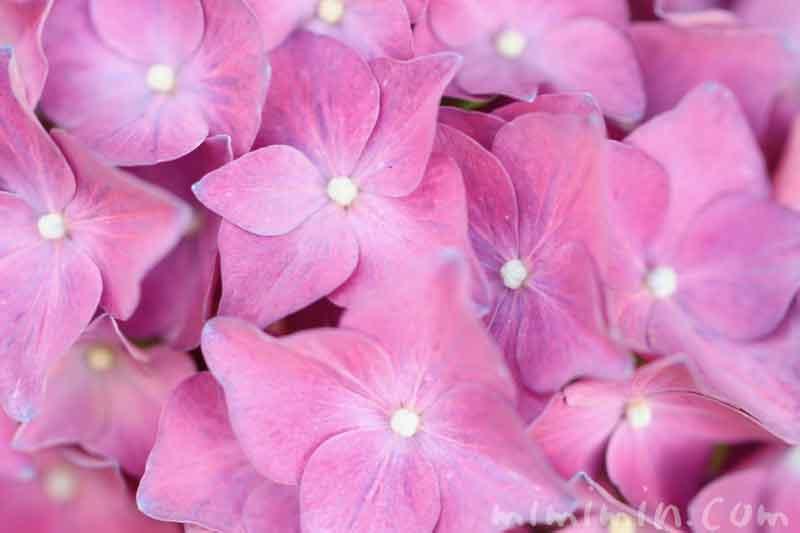 ピンク色のあじさいの花の写真と花言葉