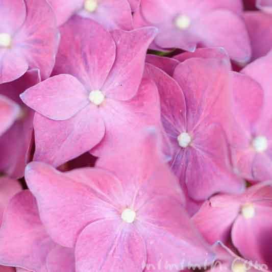 ピンク色のあじさいの花の写真・花言葉の画像