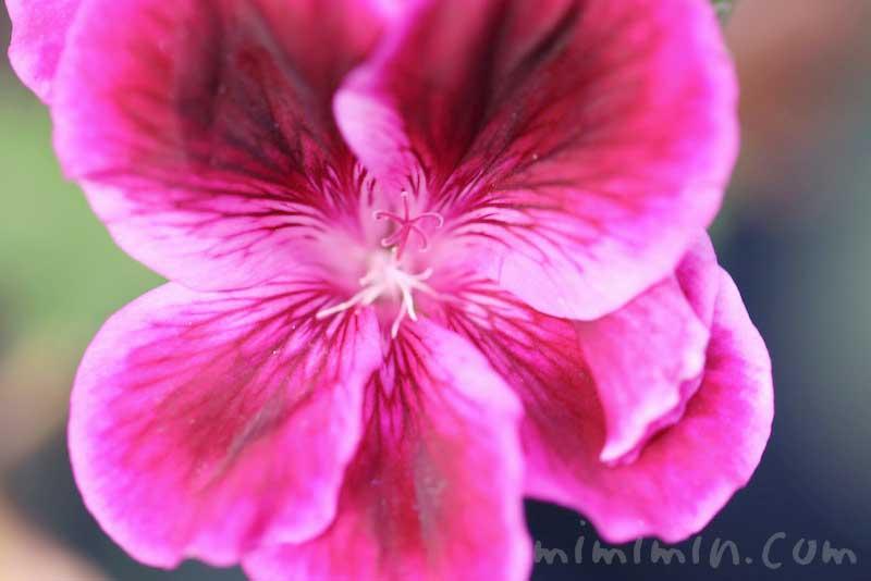 ペラルゴニウムの花言葉・誕生花