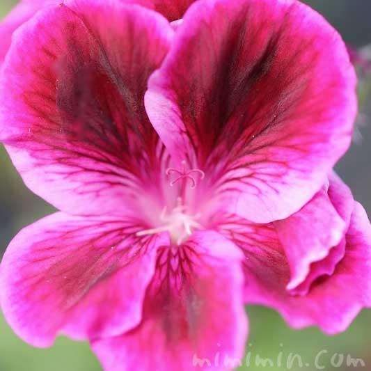 ペラルゴニウムの花の写真と花言葉・誕生花