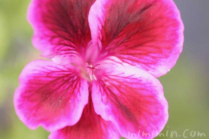 ペラルゴニウムの写真と花言葉と誕生花の画像