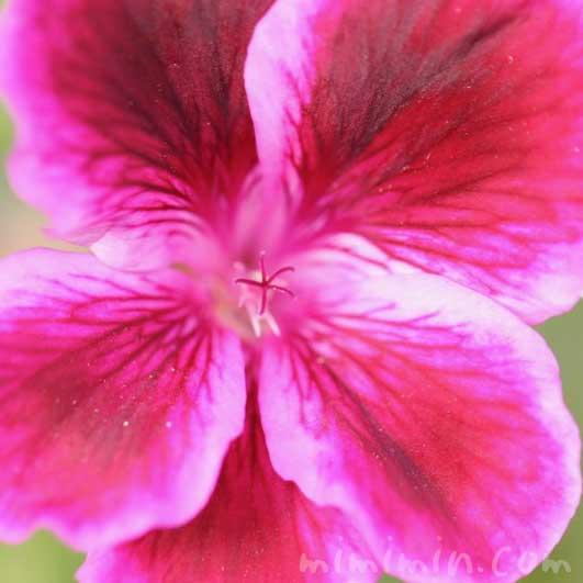 ペラルゴニウムの写真と花言葉・誕生花