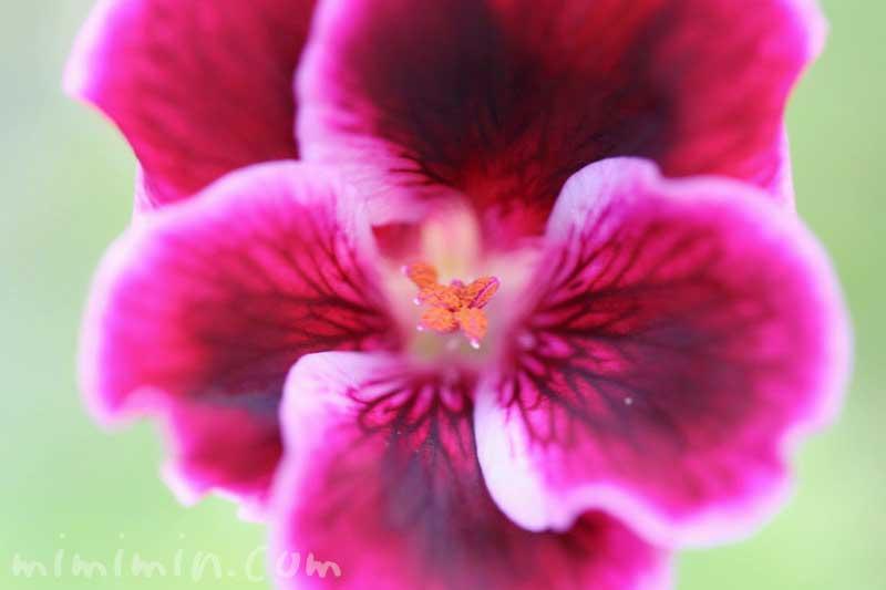ペラルゴニウムの花の写真と花言葉と誕生花の画像