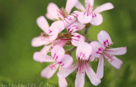 センテッドゼラニウムの花の写真・花言葉の画像
