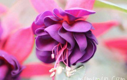 フクシアの写真・花言葉の画像