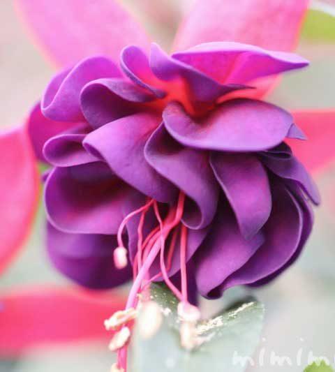 フクシア|花の写真・花言葉