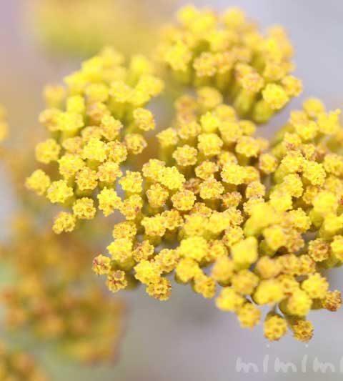 ハハコグサ(母子草)の花の写真・花言葉