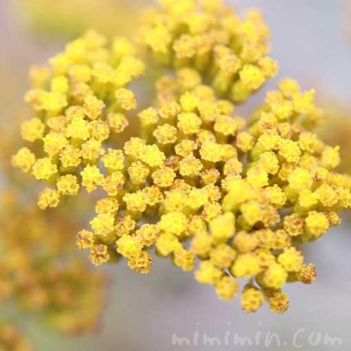 母子草の花の画像