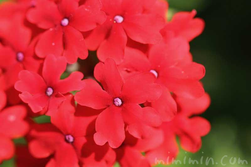 バーベナの花言葉の画像