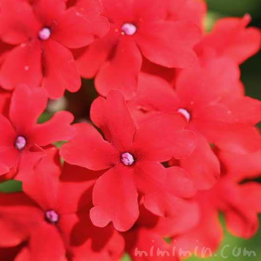 赤いバーベナの画像
