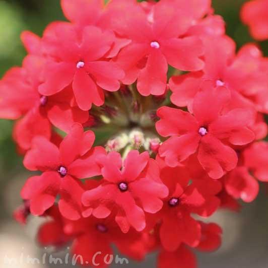 バーベナ・赤の写真