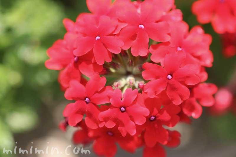 バーベナの花・赤色