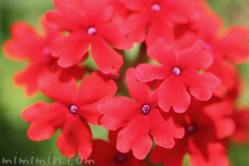 バーベナの花・赤