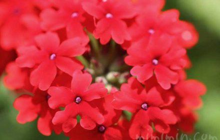 赤いバーベナの花の写真
