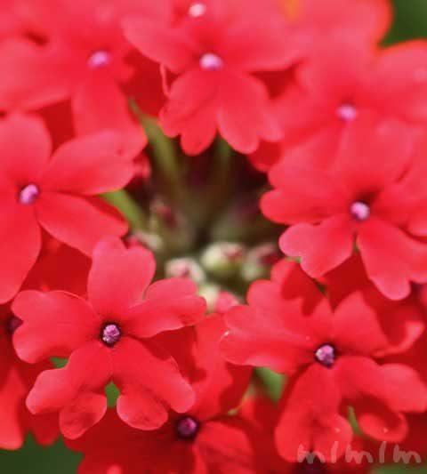 バーベナの花の写真&花言葉