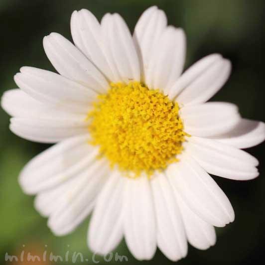 マーガレット|花の写真&花言葉の画像
