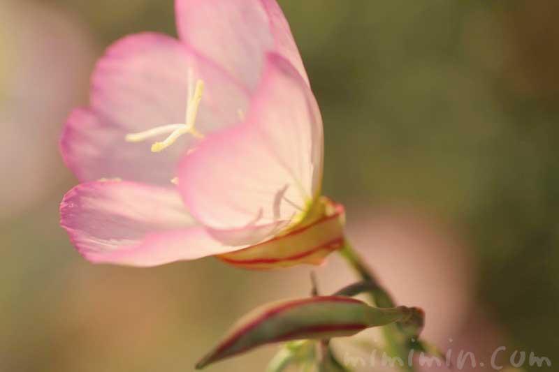 昼咲き月見草の花の写真・花言葉・誕生花の画像