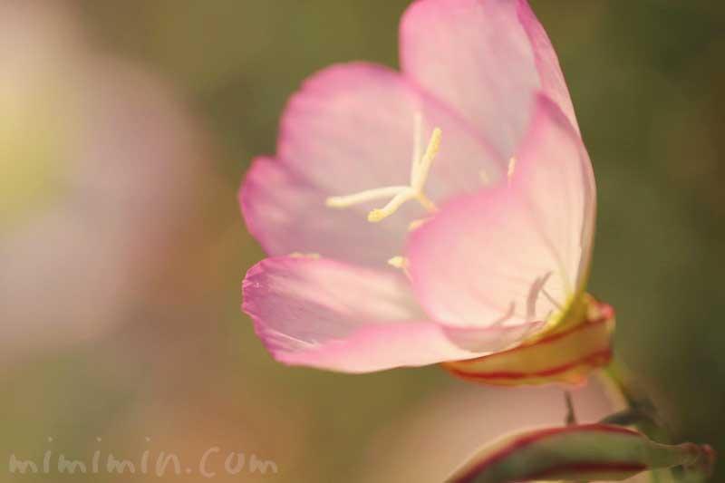 ヒルザキツキミソウの写真 花言葉 誕生花